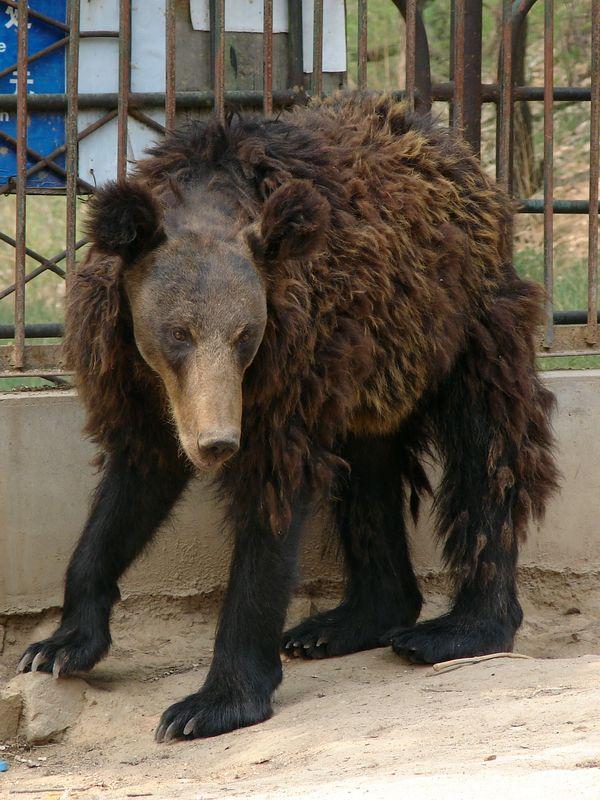 Brown Bear X Black Bear Hybrid Black Bear Brown Bear Bear