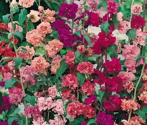 Double Mixed Clarkia With Images Annual Flowers Flower Seeds