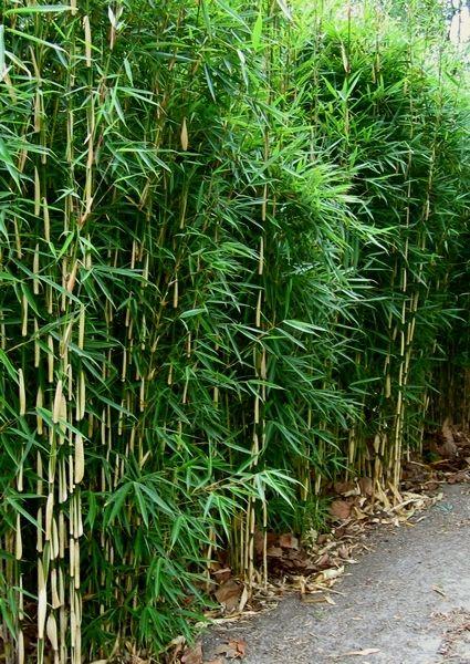 Fargesia robusta 'Campbell' Bamboo Pinterest Bamboe
