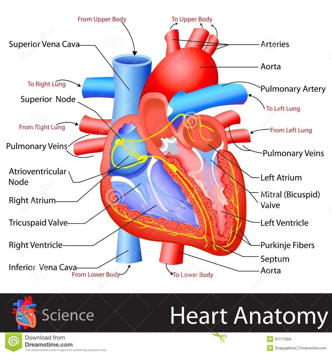 Onwijs anatomie hart - Google zoeken | Anatomie, Hart WK-07