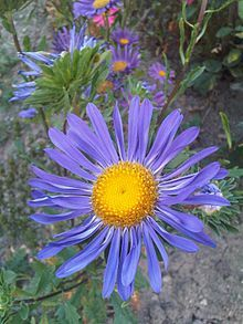 Pin On Aster Asteraceae
