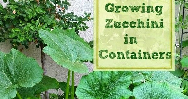 How to Grow Zucchini in containers and pots Southern California container gardening Growing ve ables