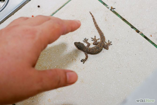 How To Catch A Common House Lizard And Keep It As A Pet Lizard Pet Lizards Pets