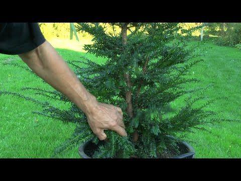 stecklinge von koniferen vermehrung ganz einfach youtube garten garden bonsai plants. Black Bedroom Furniture Sets. Home Design Ideas