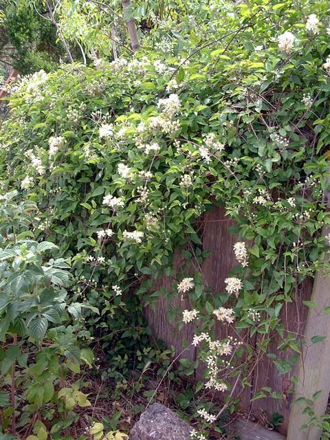 Western White Clematis Native To Central Oregon And Very Hardy California Native Plants Plants White Clematis