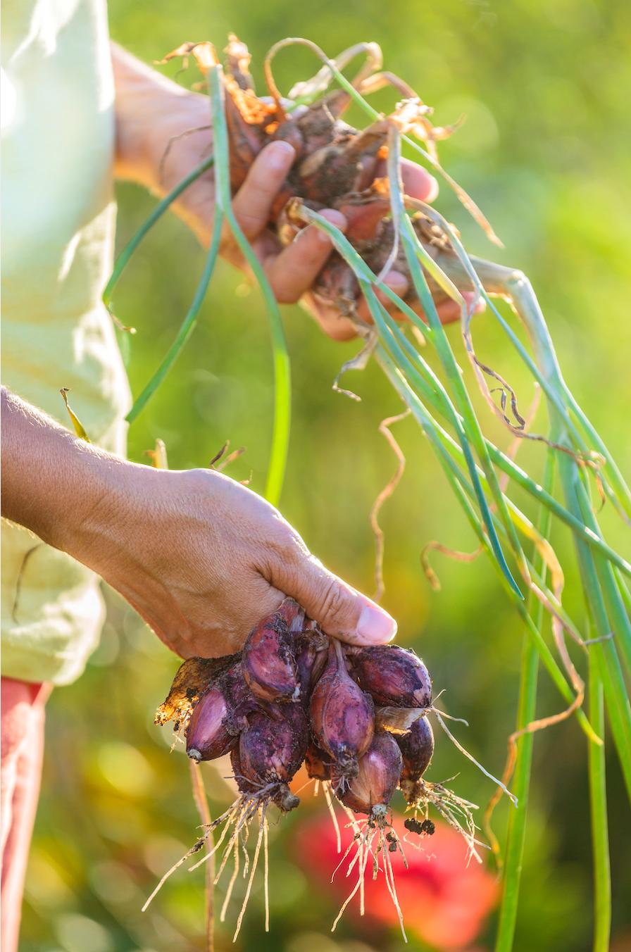 Planter les échalotes avec la Lune Échalotes, Jardinage