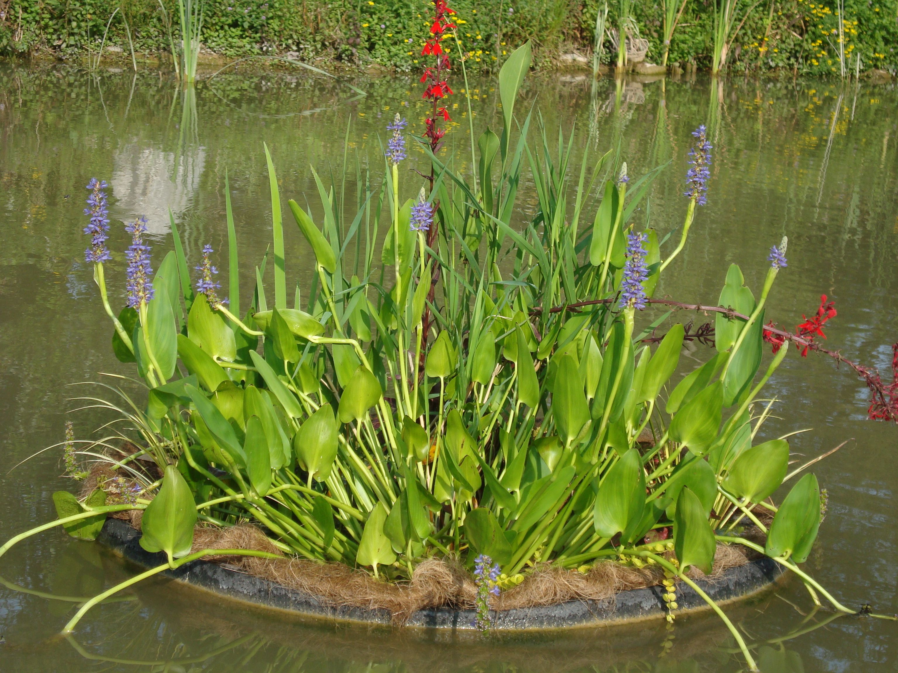 Water Garden Plants For Sale