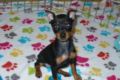 Miniature Pinscher Puppy For Sale In Tucson Az Adn 49953 On