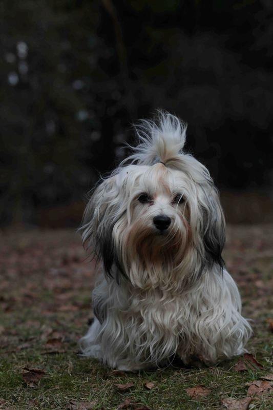 """Uma Uma dog products on Havanese """"scruffy"""""""