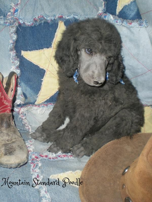 Old Blue Is A 6 Week Old Standard Poodle Puppy Poodle Puppy