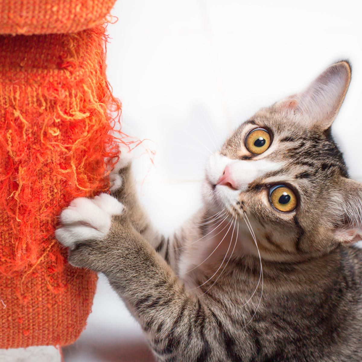 Here S How To Keep A Cat From Scratching The Furniture Carapiny Na Mebeli Kot Koshki