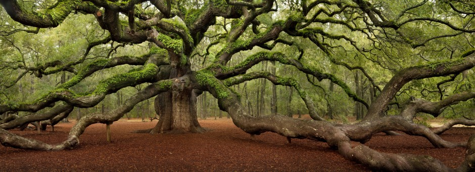 21 Unique And Spectacular Trees And Forests Around The World Angel Oak Trees Angel Oak Live Oak Trees