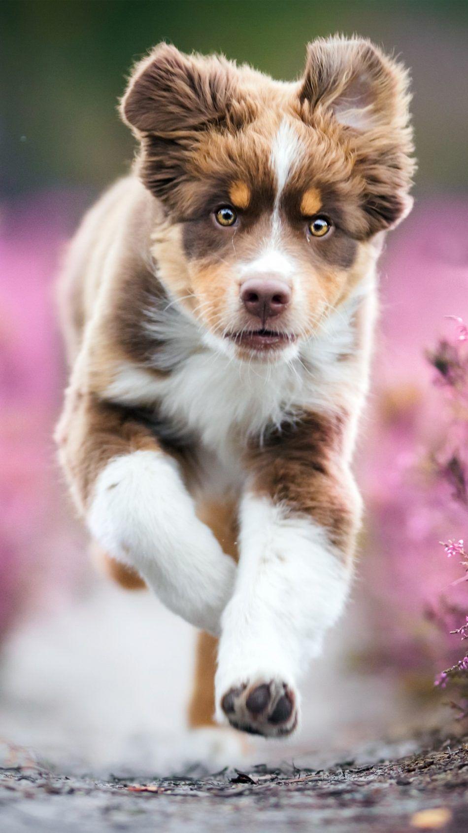Australian Shepherd Puppy 4k Ultra Hd Mobile Wallpaper Cute Animals Puppies Australian Shepherd Puppy