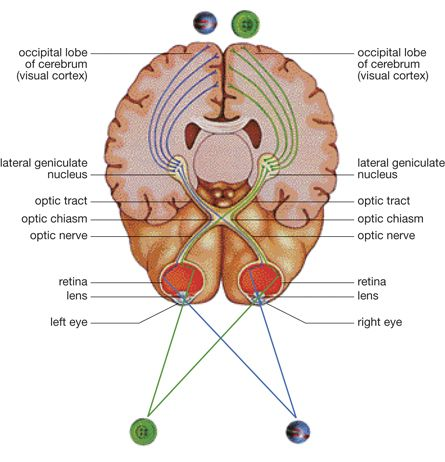 A Diagram Of The Eyes Optic Nerves And Parts Of The Human Brain