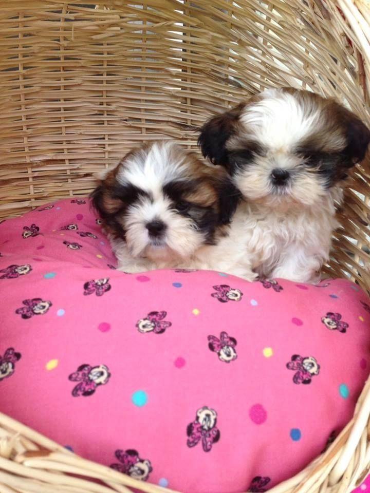 Shih Tzu T Shirt Get Free Shipping On Orders Over 45 Shihtzu Shihtzuhaircuts Shih Tzu Puppy Shih Tzu Dog Dogs