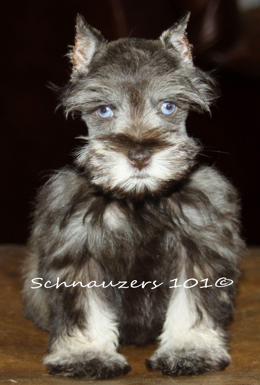 Blue Eyed Schnauzer Animals Schnauzer Blue Eyes