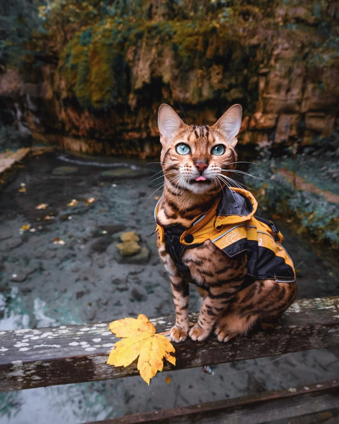 Suki Catさんはinstagramを利用しています I Wonder If Suki Knows How Cute She Is Bengal Cat Cats Cat Personalities