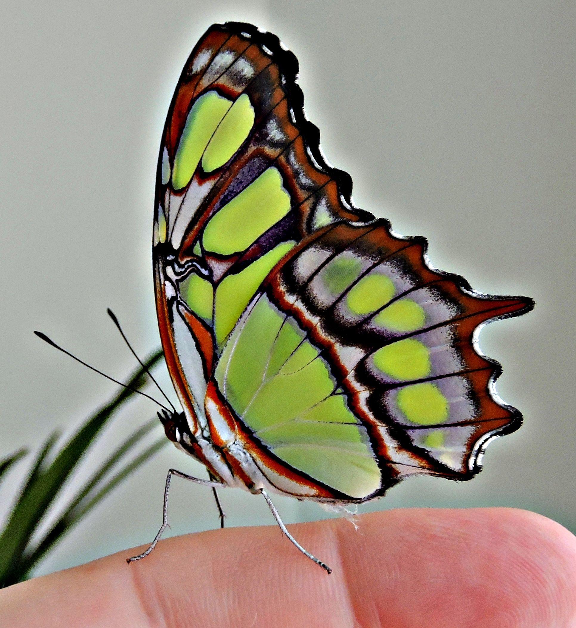 Siproeta Stelenes Schmetterling Libellen Insekten