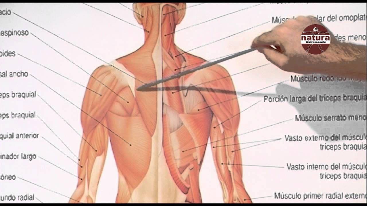 Fantástico Anatomía Muscular Del Vientre Modelo - Imágenes de ...