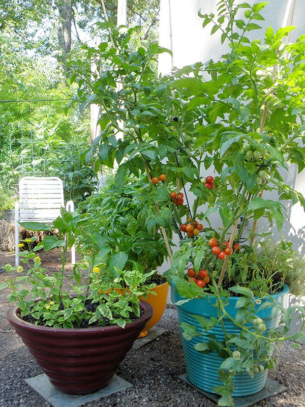 cherry tomatoes in a pot glorious garden ideas growing tomatoes in containers tomato garden. Black Bedroom Furniture Sets. Home Design Ideas