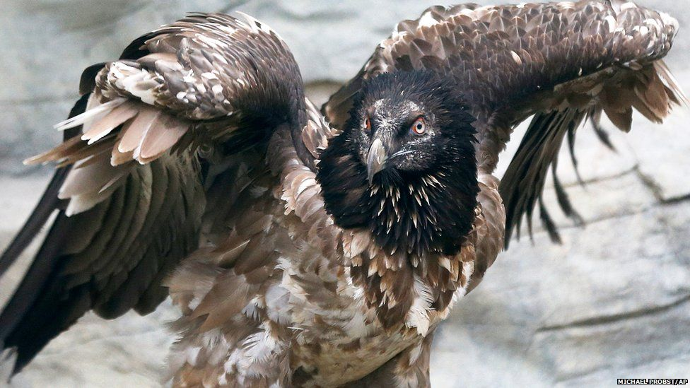 Bearded vulture Fausto spreads its wings as it inspects its new home in Frankfurt Zoo, Germany.