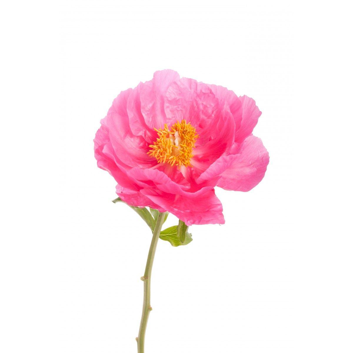 Hot Pink Single Bloom Peonies Home G A R D E N O U T D O O R