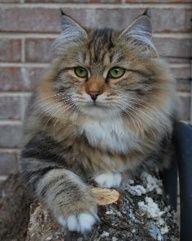 Siberian Cute Cats Kittens