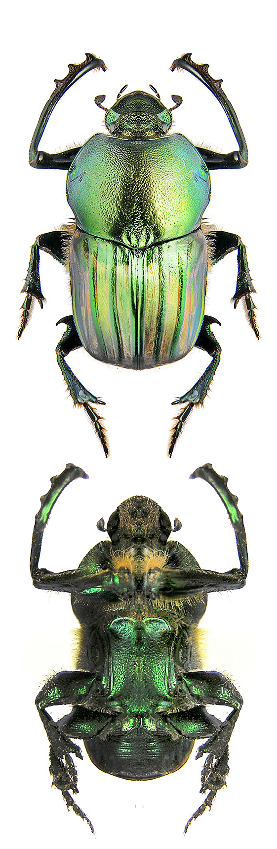 Onitis humerosus Insects, Bugs and insects, Beautiful bugs