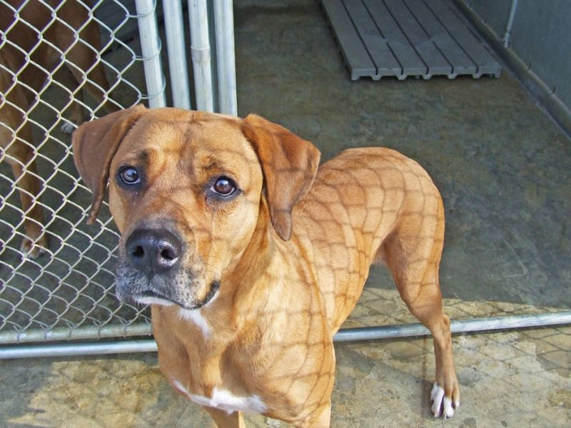 Ridgeback-Pitbull Mix | To Do: | Pinterest | The o'jays ...