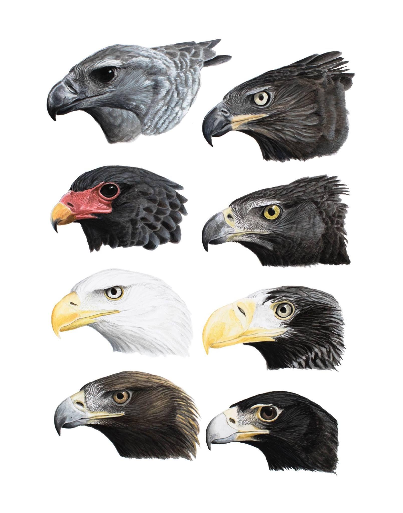 Some Select Large Eagles From Top Left Harpy Eagle Harpia Harpyja Crowned Hawk Eagle Stephanoaetus Coronatus Bateleur Tera Pet Birds Bald Eagle Eagles