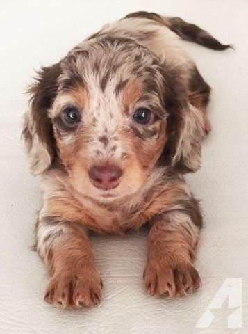 Currently Female Chocolate And Tan Dapple Girl Becomes Available Both Ee Cream Girl And Red Girl Are Dachshund Puppies Cute Baby Animals Cute Dogs And Puppies