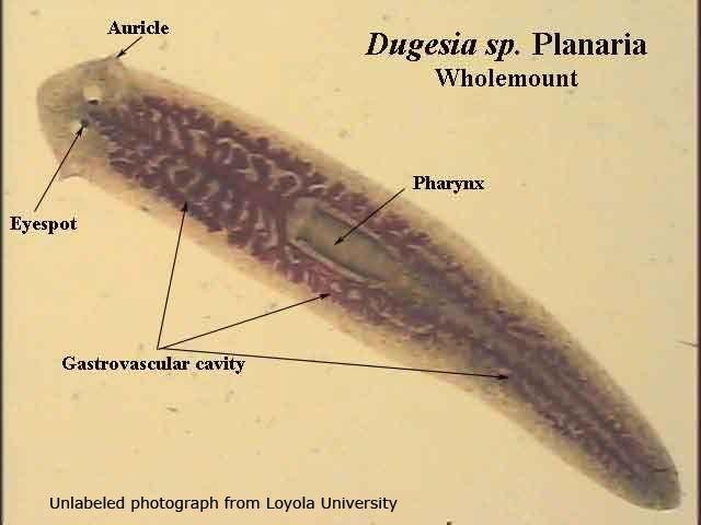 Diagram Of A Planarians Auricles Trusted Wiring Diagram