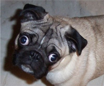 Pugs With Eyes That Look In Different Directions Pugs Critter