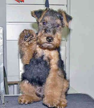 Welsh Terrier Puppy So Cute With The Black Hair On The Face Which Eventually Fades Away Pammorr Welsh Terrier Airedale Dogs Airedale Terrier Puppies