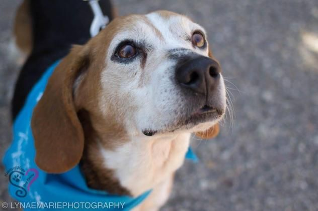 Adopt Odie On Little Miss Hariat And Odes Rescue Dogs Beagle