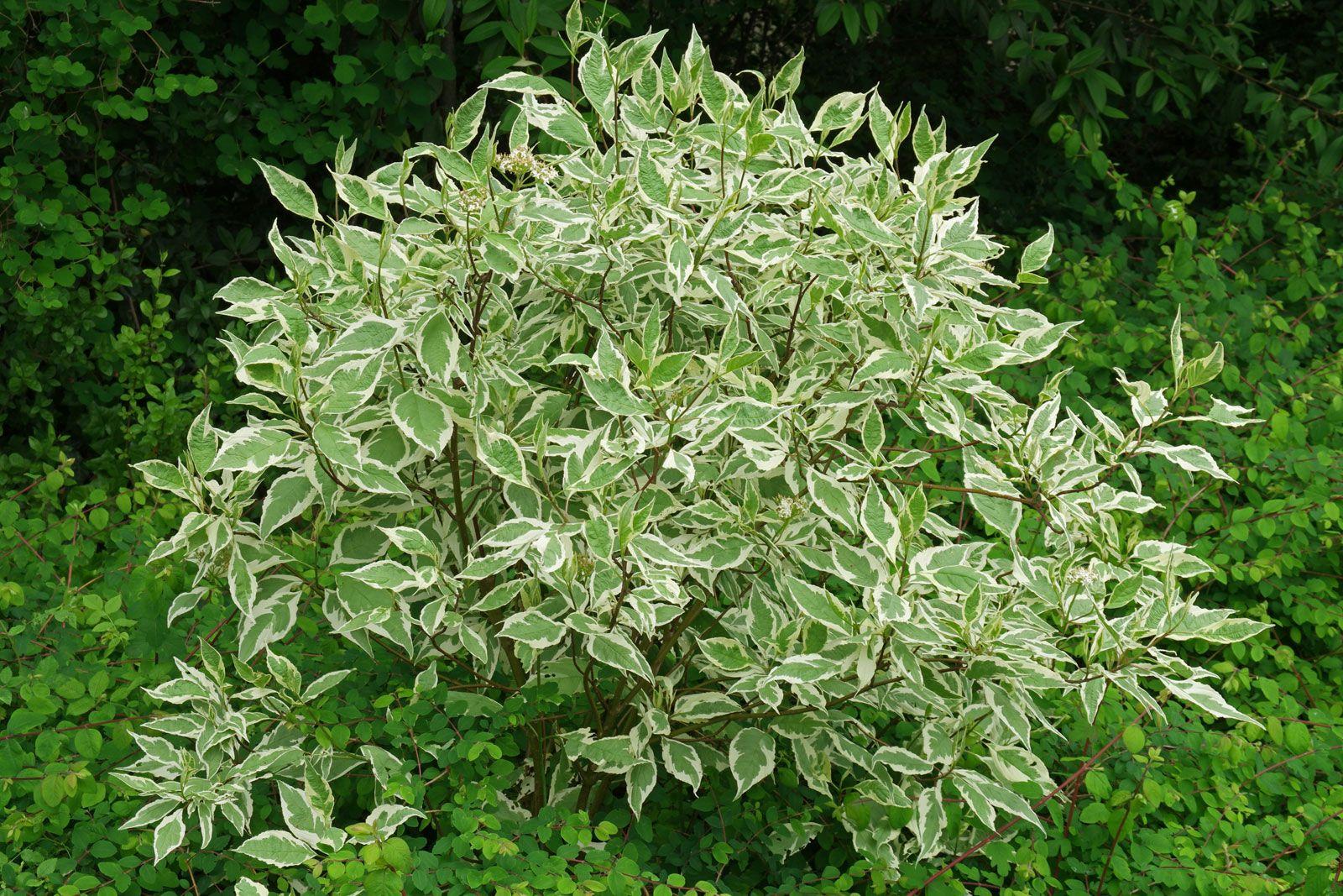 Picture of Live Tartarian Dogwood aka Cornus alba 'Elegantissima' Plant Fit 5 Gallon Pot