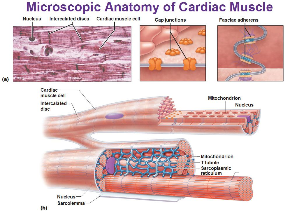 Microscopic Anatomy Of The Heart A You See That Egg Carton