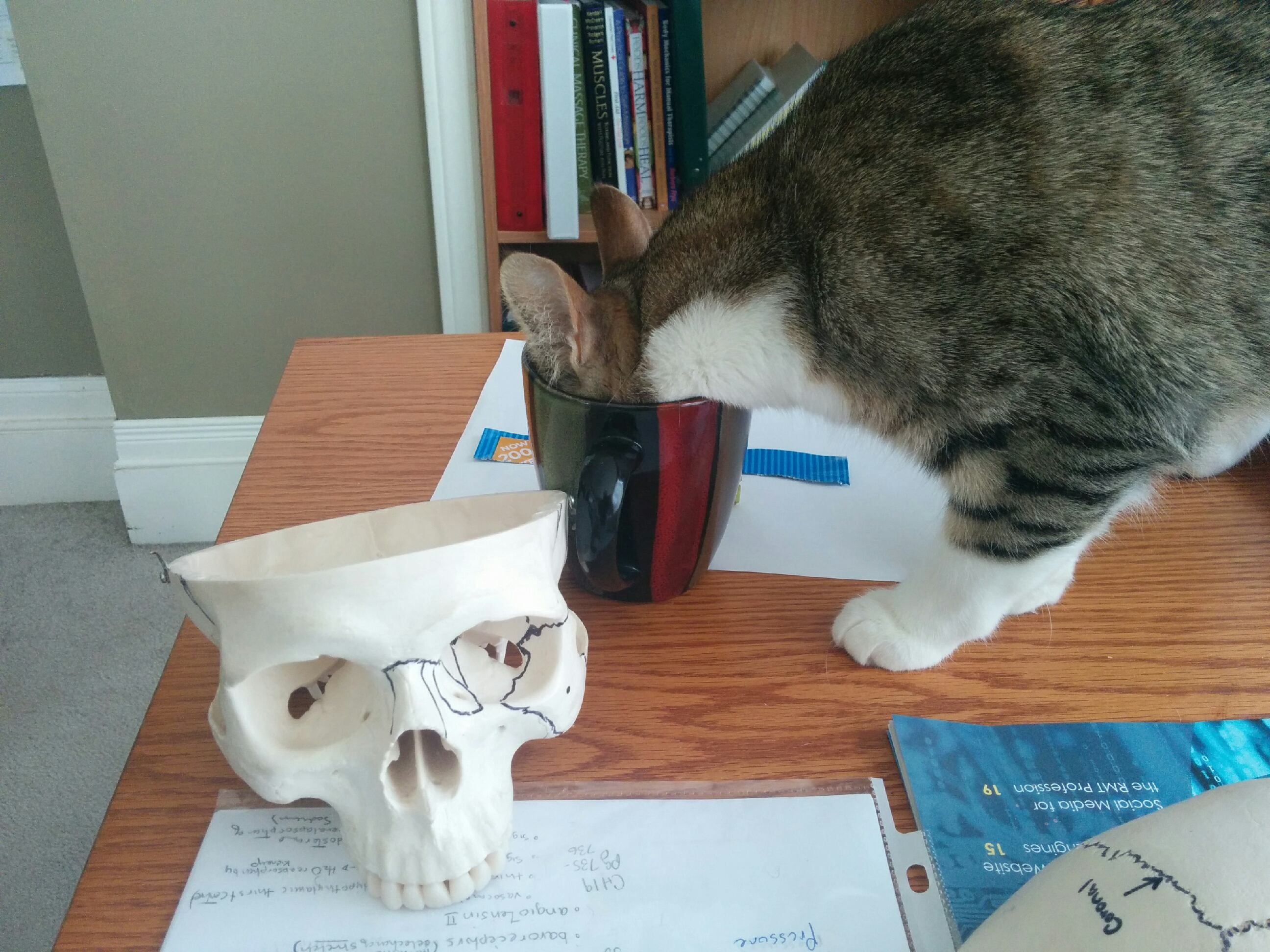 My wifeus cat loves tea skull for scale iftqaaew