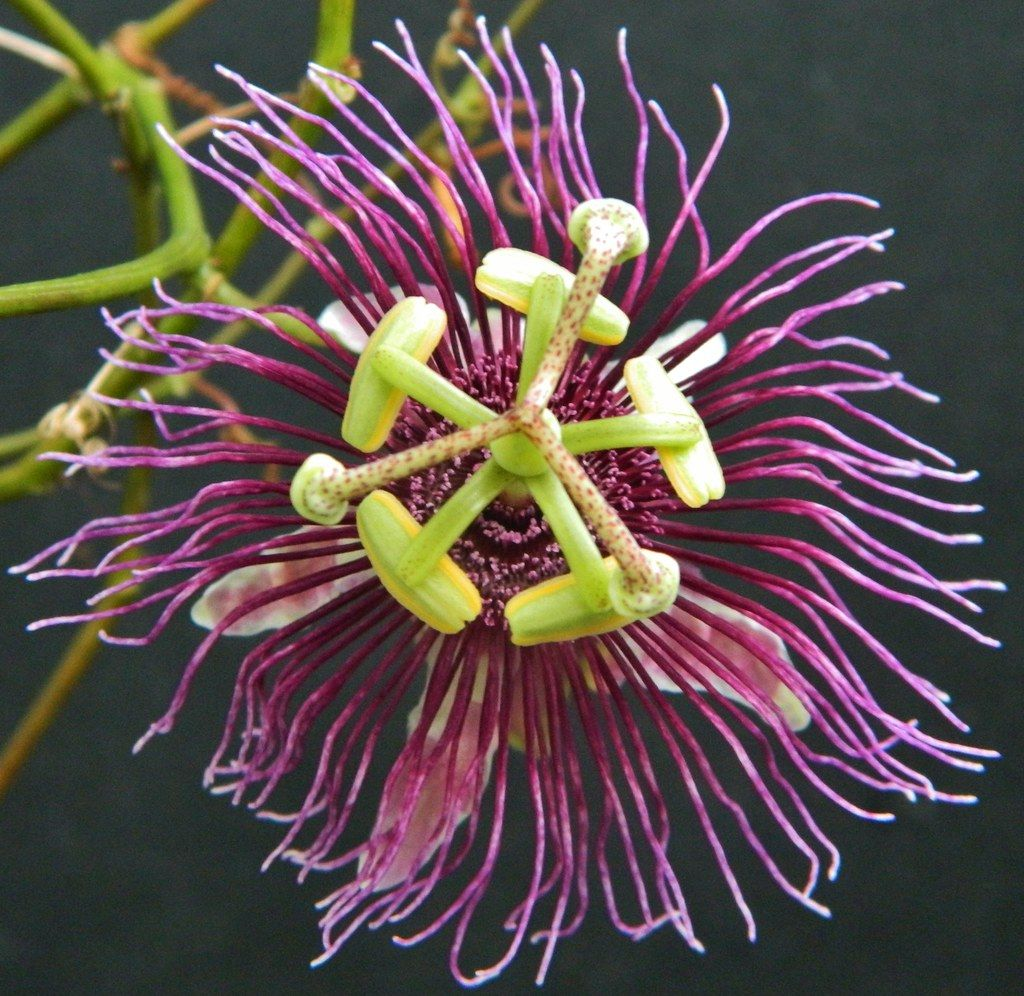 Pin By Michelle H On Passiflora Ci Passion Flower Passiflora Plants