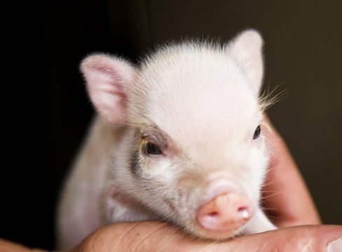 Mini Teacup Pigs and Micro Pigs