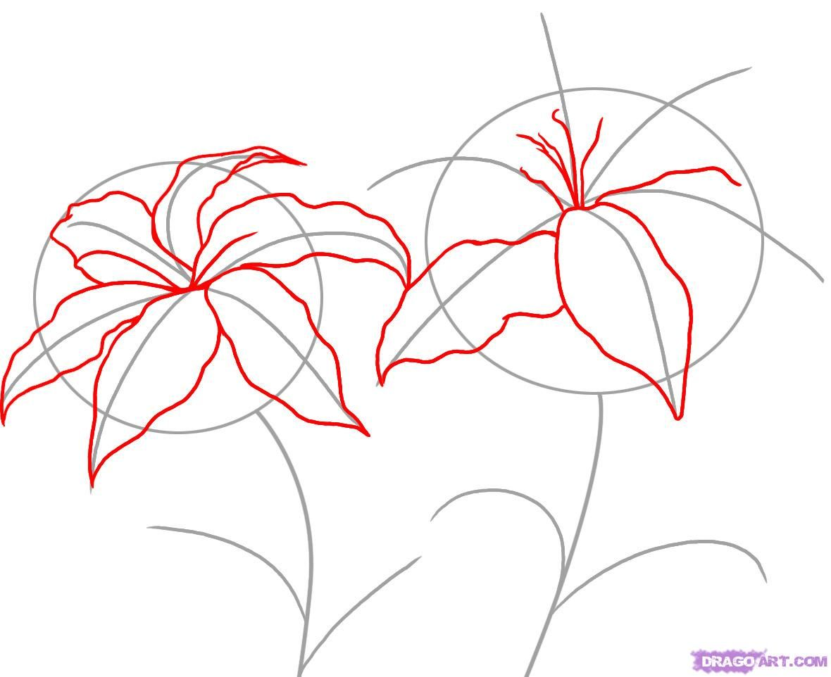 step by step drawing how to draw lilies step 2 art Pinterest
