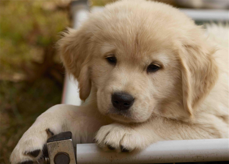 Pin By Doreene Marchesseault On Suncrest Golden Retrievers Puppies Golden Puppies Cute Puppies