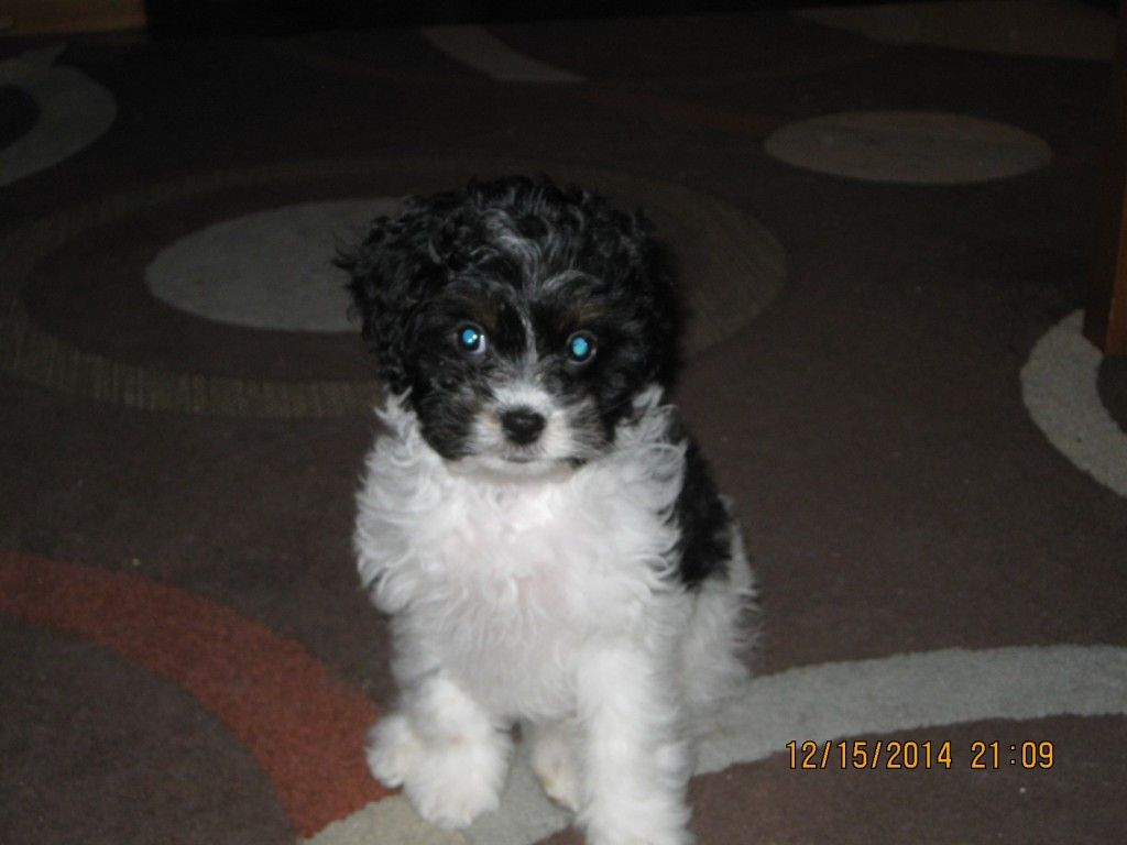 Patches The Cavapoo With Images Cavapoo King Charles Spaniel