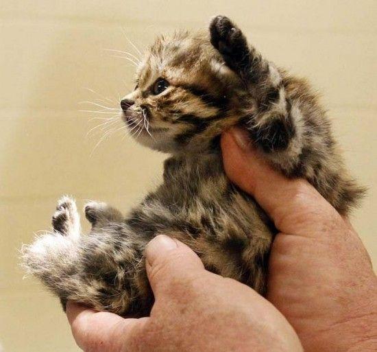 画像 世界最小種の猫 クロアシネコ が可愛い Naver まとめ 可愛すぎる動物 猫 子猫
