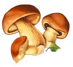 гриб сыроежка раскраска.   Грибы, Раскраски, Картинки