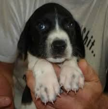 Image Result For Beagle Pointer Mix Unique Dog Breeds Cute