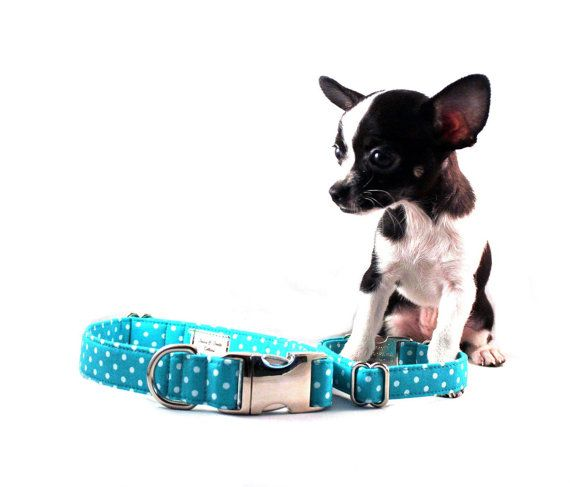 Turquoise Dog Leash And Collar Model Is Miss Chi Chi The