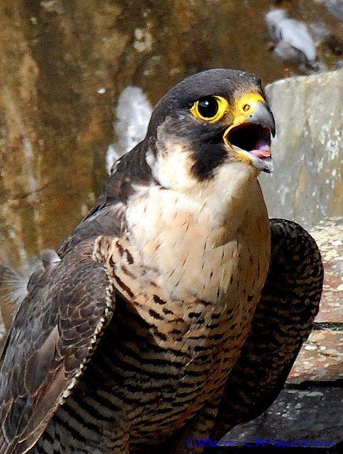 Female Peregrine Falcon Peregrine Falcon Peregrine Barbary