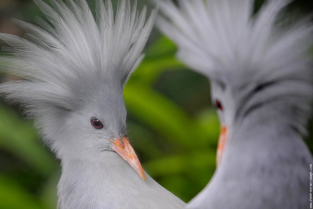 Cagou Oiseau Endmique De Nouvelle Caldonie Animaux
