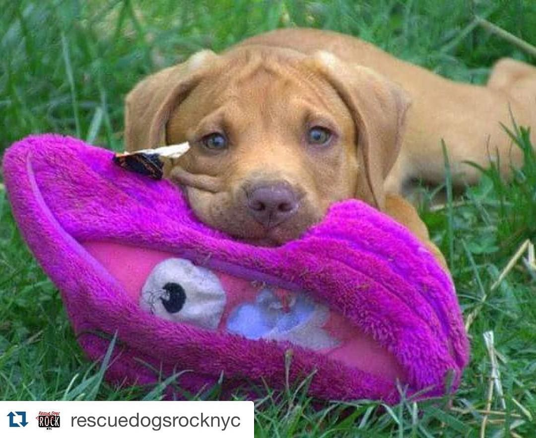 #Repost @rescuedogsrocknyc with @repostapp.  9 week old Casper wants to wish everyone a good night! He is going to bed and dreaming about finding his forever home. Apply at rescuedogsrocknyc.org #rescuedogsrocknyc #nyc  #adoptdontshop #nycdogswag #thedodo #dog #newyorkcity #barkbox #newyork #manhattan #spreadtherumer #ny #puppy #adopt #rescue #brooklyn #queens #bronx #longisland #dogsofnyc #rdrnyc #fosterdogsnyc #houndsbazaar #nycdogs #lacyandpaws #statenisland #dontshopadopt by…